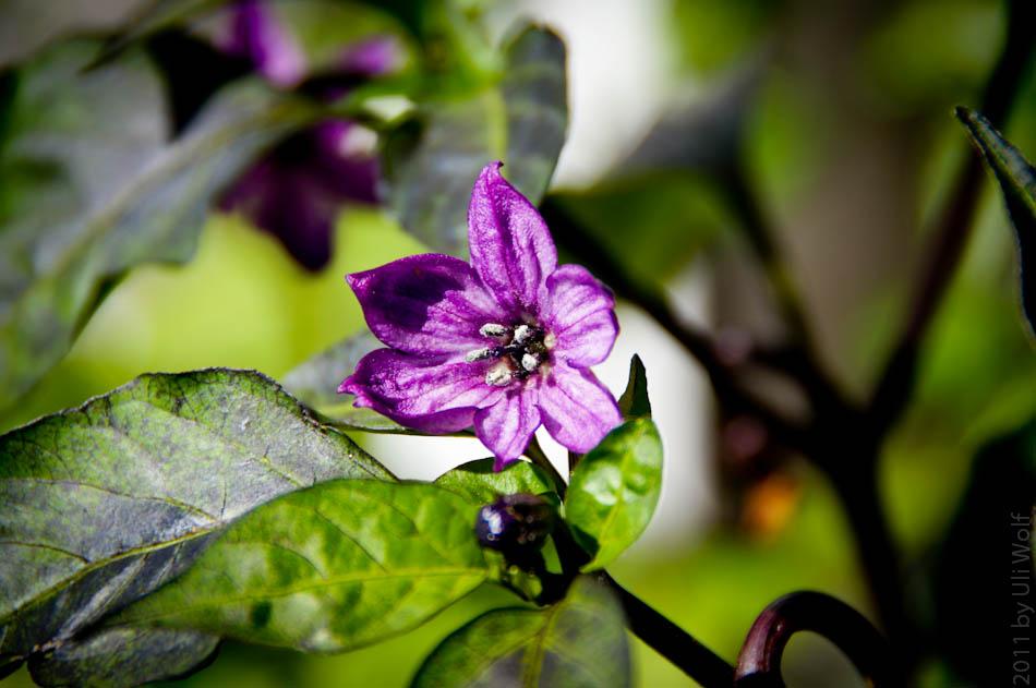 Die Chillis blühen